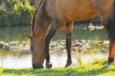 Akhal-teke horse grazing near the water — Stock Photo