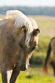 Portrait of young akhal-teke foal — Stock Photo