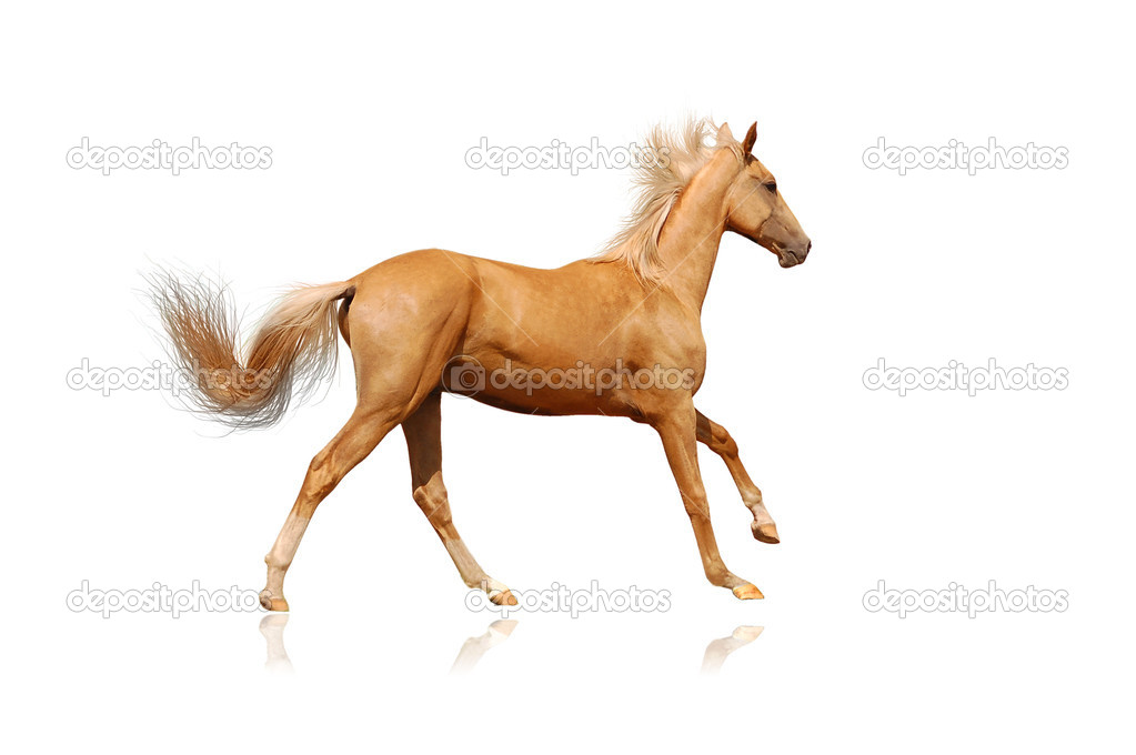Palomino horse on white — Stock Photo #2234991