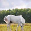 Stock Photo: White arab horse