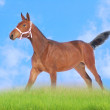 Bay foal in field - Stock Photo