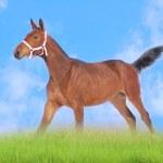 Bay foal in field — Stock Photo