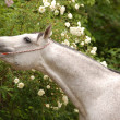 Arab horse — Stock Photo