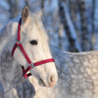 Orlov stallion portrait — Stock Photo