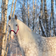Stock Photo: Orlov stallion winter portrait