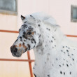 Appaloosa pony In Winter - Stock Photo