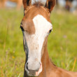 Stock Photo: Portrait of young akhal-teke foal