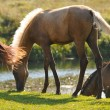 Stock Photo: Akhal-teke foal grazing