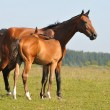 Akhal-teke horses — Stock Photo