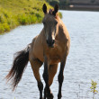 Akhal-teke mare — Stock Photo
