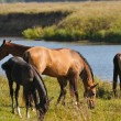 Horses grazing — Stock Photo