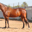 Good looking bay horse — ストック写真 #2467854