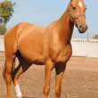 Young palomino stallion on blue sky — Stock Photo