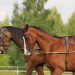Two Akhal-tekes - Stock Photo