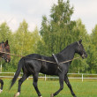 Akhal-teke stallion - Stock Photo