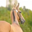 Akhal-teke stallion — Stock Photo