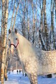 Orlov stallion winter portrait — Stock Photo