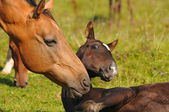 Akhal-teke mare and foal — Stock Photo