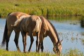 Akhal-teke mare and foal near lake — Stock Photo