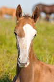 Portrait of young akhal-teke foal — Stock Photo
