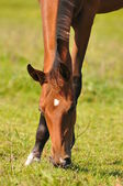 Akhal-teke foal grazing — Stock Photo