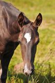 Akhal-teke foal portrait — Stock Photo