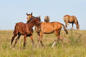 Akhal-teke foals communicating — Stock Photo