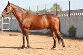 Zatoka konia przystojny — Zdjęcie stockowe