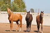 Three akhal-teke horses — Stock Photo