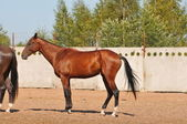 Beautiful bay Akhal-Teke stallion — Stock Photo