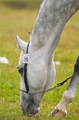 Grey akhal-teke horse portrait — Stock Photo