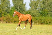 Akhal-teke horse running gallop — Stock Photo