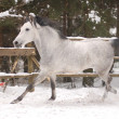 Stock Photo: Horse run gallop in snow