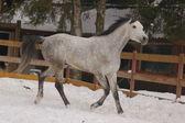 Cheval courir dans la neige — Photo