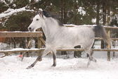 Horse run gallop in snow — Stock Photo