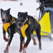 Stock Photo: Dogs sled