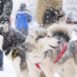 Stock Photo: Sled dogs championship