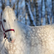 Stock Photo: Portrait of white horse in winter forest