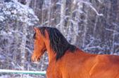 Bay arab horse — Stock Photo