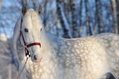 Portrait of white horse in winter forest — Stock Photo