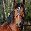 Horse portrait of russian draft horse — Stock Photo