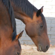 Two horses in paddock — Stock Photo #2551648