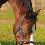 A grazing horse — Stock Photo