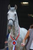 Dapple-grey лошадь — Стоковое фото