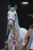 Dapple-grey horse — Stockfoto