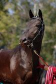 Портрет красивый черный конь — Стоковое фото