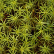 Polytrichum - Foto Stock