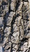 Texture of tree cortex — Stock Photo
