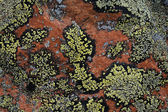 Crustose lichen — Stock Photo