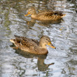 Stock Photo: Wild ducks